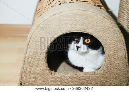 Funny Black And White Tuxedo Cat Is Sitting In Scratching House, Boredom, Comfort, Drowsiness. Self-