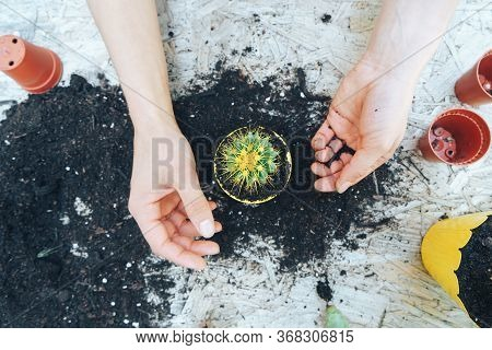 Woman's Hands Transplanting Cactus Into A New Pot On The Wooden Table. The Process Of Transplanting