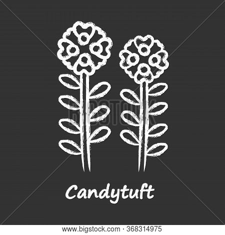 Candytuft Chalk Icon. Aster Garden Flower With Name Inscription. Iberis Evergreen Perennial Plant In