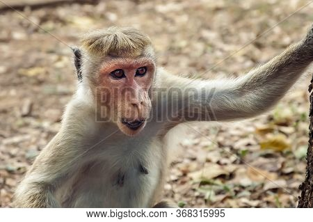 Toque Macaque Watches The Photographer Closely. This Species Has A Light Coat And A Pinkish Face. Cl