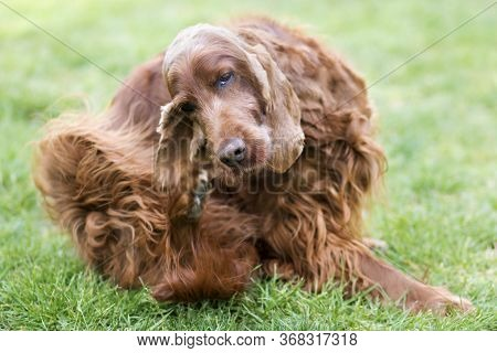 Cute Furry Irish Setter Pet Dog Scratching Itching In The Grass