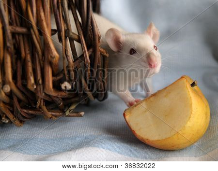 White rat and apple