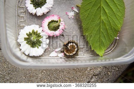 The Shaggy Tricolor Caterpillar Of Butterfly Curled Up And Lies In A Plastic Box Of Flowers. The Gre