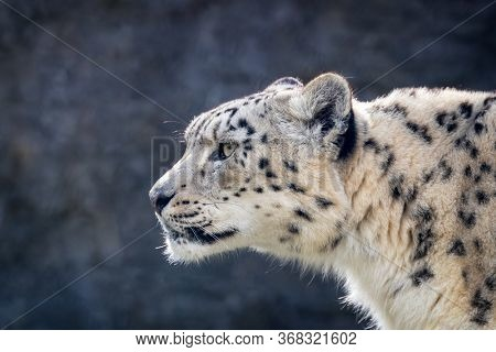 Watchful and alert adult snow leopard, Panthera uncia, side profile closeup with space for text.