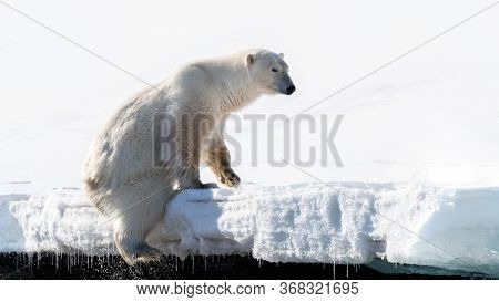 Adult male polar bear climbs out of the water at the edge of the fast ice in Svalbard, a Norwegian archipelago between mainland Norway and the North Pole