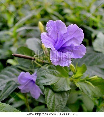 Ruellia Tuberosa Or Minnieroot, Popping Pod, Cracker Plant In Garden:purple Color Flower In Morning