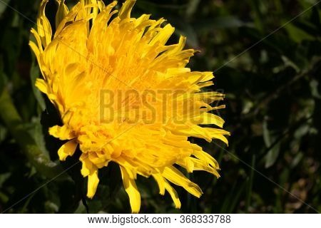 Yellow Dandelion Macro Photo. Yellow Dandelion Flower Close-up. Green And Black Background. Blooming