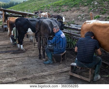 Chornohora, Carpathian Mountains, Ukraine - August 30, 2015: Men Milking Cows On The Farm In The Ukr