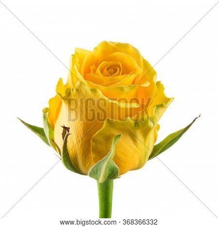 Yellow Rose On White Background, Yellow Rose Bud Close-up Isolated