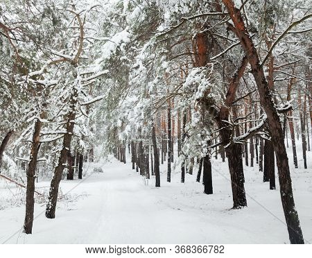 Road In A Coniferous Winter Forest. Dirt Road Covered With Snow. Wheel Ruts On The Road. Winter Land