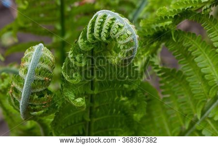 Fern Spiral Of Matteuccia Is A Genus Of Ferns With One Species: Matteuccia Struthiopteris Common Nam