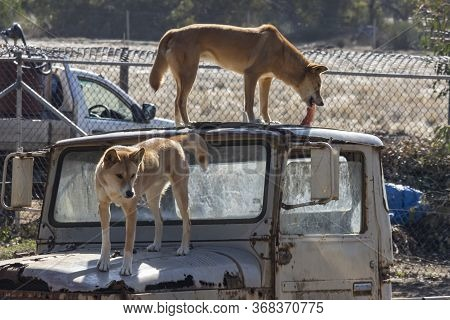 Two Dingos On Top Of An Old Car In Their Compound In A Wildlife Park In Australia, One Of Them Is Ea