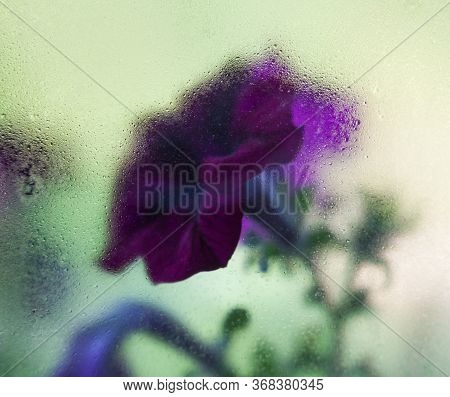 Purple Petunia Flowers Behind The Wet Glass. Flowers In The Moist Window.
