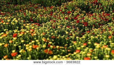 Chrysanthemum (C. X Morifolium)