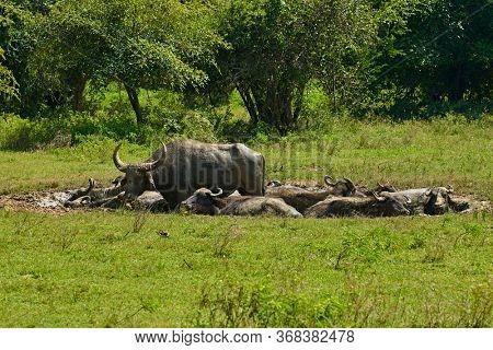 Indian wild water buffalo Yala National Park southern Sri Lanka ancient Ceylon