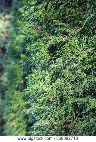Evergreen Coniferous Plant With Scale-like Leaves. Coniferous Tree. Cypress Family.