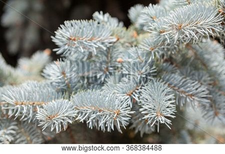 Blue Spruce Coniferous Branches. Evergreen Tree. Coniferous Forest.