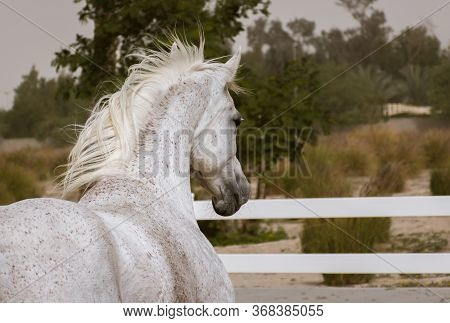 A View Of Arabian White Horse From The Side And Back Facing Inside The Paddock Training Area Of Bait
