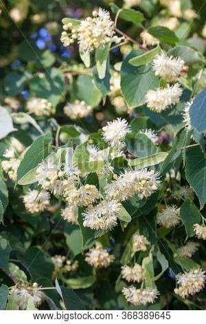 Lime Tree (linden) Blossom. Flowers On The Green Branches Of The Lime Tree.