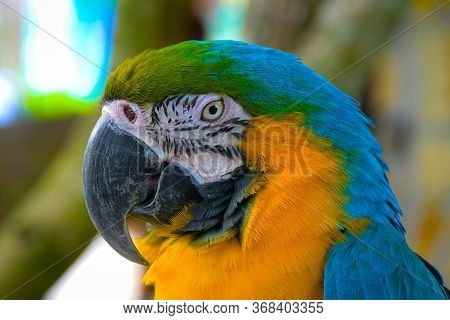 Close Up Of Blue And Gold Macaw Parrot. Exotic Colorful African Macaw Parrot, Beautiful Close Up On