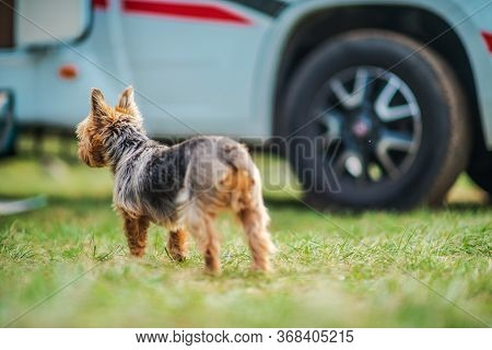 Vacation Road Travel With Dog. Australian Silky Terrier And Camper Van In Background.