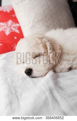 White Bichon Frise Puppy Sleeping On White Bed With Red Christmas Decor Pillow. Cute Little Lap Dog,