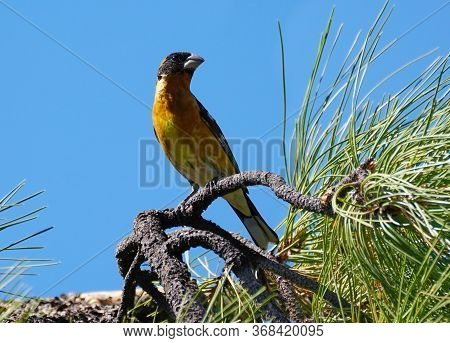 A Male Black Headed Grosbeak Site On A Pine Tree Branch On A Sunny Afternoon.