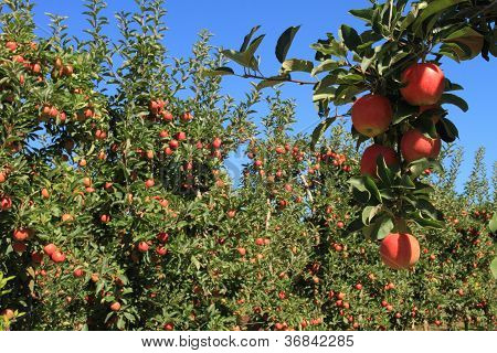Apple Orchard 07