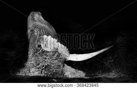 Humpback Whale Breaching Isolated On A Black Background