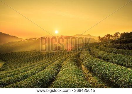 Sunrise View Of Tea Plantation Landscape At 101 Chiang Rai Tea,north Of Thailand, Vibrant Color &  S