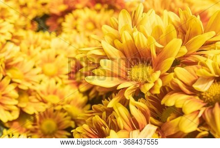 Orange Gerbera Daisy Or Gerbera Flower In Garden With Natural Light On Right Frame
