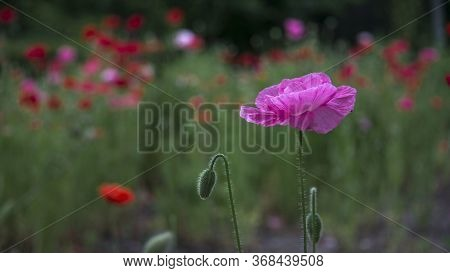 Purple, Pink, Different - Poppy.morning Dew On A Poppy Lawn.population Of Poppies.a Rare Color Of A