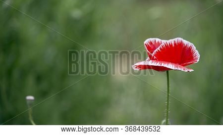 Lone Poppy Closeup.red And White Painted Poppy.on A Green Background Poppy.may Poppies In The Meadow