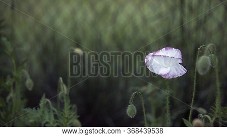 White Poppy On The Lawn.unusual Color Poppy.selection Of Poppies At Their Summer Cottage.magazine Pi
