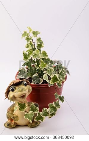 Green Ivy In A Pot. Isolated White. Home Plant Common Ivy In A Pot On A White Background.