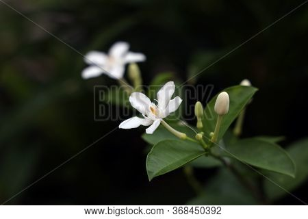 Cape Jasmine (garden Gardenia, Gardenia Jasminoides J.ellis) White Flower On Jasmine Tree.