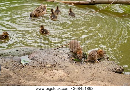 Water Spit Or Rat, A Duck With Ducklings On The Banks Of The River. The Presence Of Different Birds