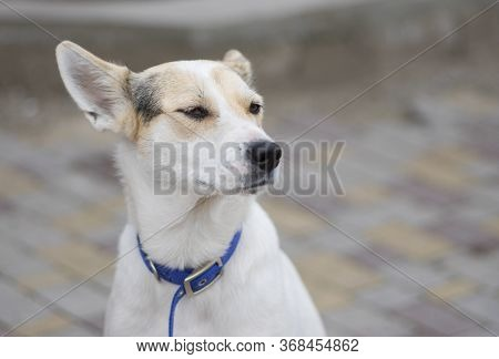 Street Portrait Of Proud Cross-breed White Dog Wearing Blue Collar