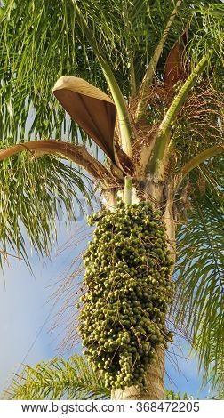 Date Palm Showing New Green Fruit Ripening On Tree In Village Park, Andalusia