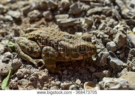 The Common Frog (rana Temporaria), Also Known As The European Common Frog, European Common Brown Fro