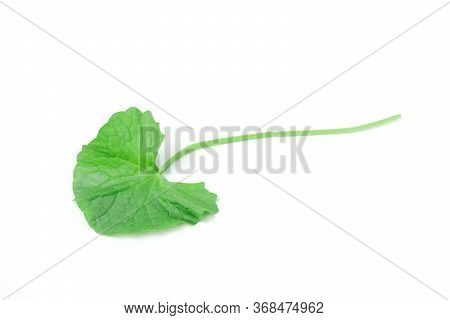Gotu Kola (centella Asiatica) Is Vegetable Fresh Isolated Contains High Vitamin C And Many Nutrients
