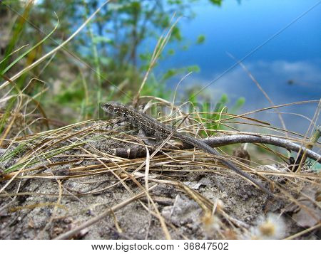 grey small lizard near the river