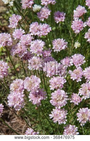 The Sea Thrift (armeria Maritima) Plant Blooming In Spring