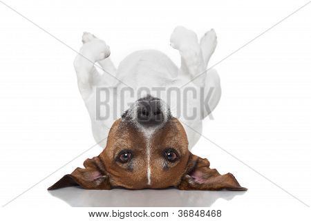 Dog  Laying Upside Down