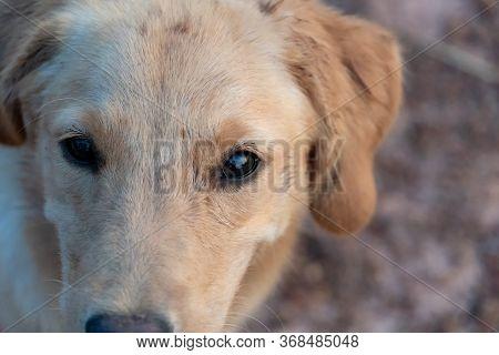 Golden Retriever Dog Eye Looking At Camera