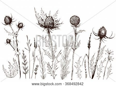 Set Of Thistles And Wild Meadow Herbs. Hand Drawn Vector Illustration Isolated On White Background.