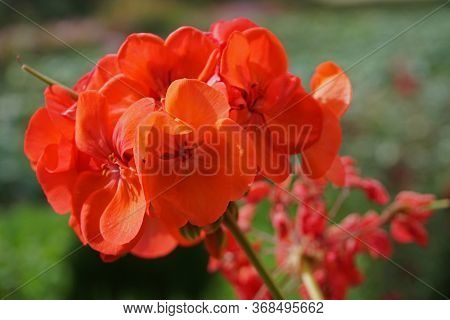 Close Up Of Bright Red Geranium Flowers Blooming In The Garden With A Blurred Green Leafy Background