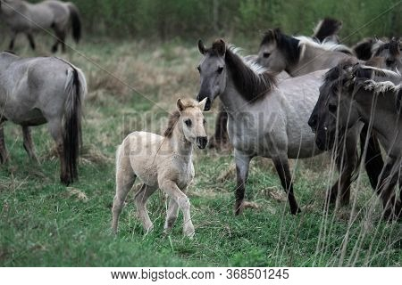 Herd Of Horses With Foal. White Gray Wild Horses Tarpans.