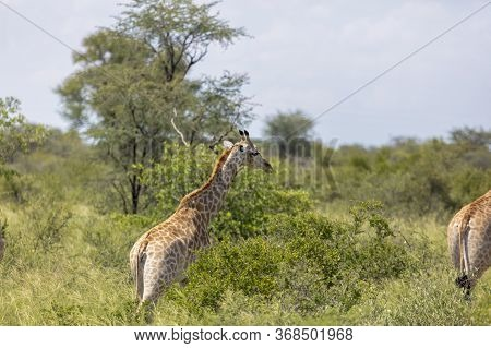 A Giraffe Runs For Cover In The Okanago Delta's Thick Bush.