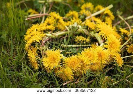 Dandelion Wreath. A Wreath Of Yellow Dandelions On A Green Meadow. Woven Bright Yellow Dandelions Am